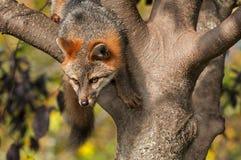 Grey Fox (Urocyon cinereoargenteus) Climbs Down from Tree Royalty Free Stock Photos