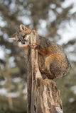 Grey Fox Urocyon cinereoargenteus Clings to Top of Broken Off. Tree - captive animal Stock Photos