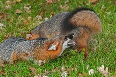 Grey Fox (Urocyon cinereoargenteus) Conflict Royalty Free Stock Images