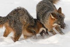 Grey Fox Urocyon cinereoargenteus Disagreement Closeup Royalty Free Stock Photos