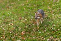 Grey Fox (Urocyon cinereoargenteus) geht über Gras Stockfotografie