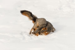 Grey Fox Urocyon cinereoargenteus Grabs at Other in Snow Stock Images