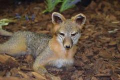 Grey Fox Urocyon cinereoargenteus i ett museum Fotografering för Bildbyråer