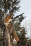 Grey Fox Urocyon cinereoargenteus Looks Right From Treetop Stock Images