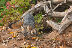 Grey Fox (Urocyon cinereoargenteus) Moves Out of Den Royalty Free Stock Image