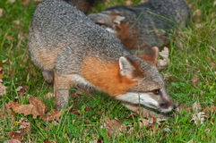 Grey Fox (Urocyon cinereoargenteus) Quick Turn Stock Photo