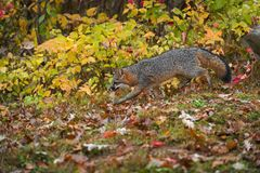 Grey Fox Urocyon cinereoargenteus Runs Left Through Autumn Leaves stock photo