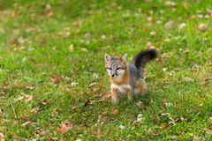Grey Fox (Urocyon cinereoargenteus) Sits in Grass Royalty Free Stock Photos