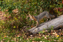 Grey Fox (Urocyon cinereoargenteus) Stands on Log Stock Photography