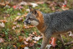 Grey Fox Urocyon cinereoargenteus Stands Looking Left in Autumn stock photography