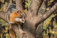 Grey Fox (Urocyon cinereoargenteus) in Tree Stock Image