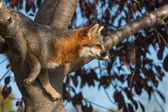 Grey Fox (Urocyon cinereoargenteus) in Tree Looks Right Royalty Free Stock Photography