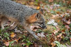 Grey Fox Urocyon cinereoargenteus Trots Right in Autumn royalty free stock photography