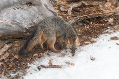Grey Fox Urocyon cinereoargenteus Turns Royalty Free Stock Photography