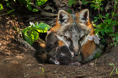 Grey Fox (Urocyon cinereoargenteus) and Two Kits in Den Stock Photography