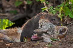 Grey Fox Urocyon cinereoargenteus Vixen Climbed on by Kit Stock Images