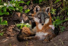 Grey Fox (Urocyon cinereoargenteus) Vixen with Kit in Background Stock Images