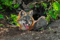 Grey Fox (Urocyon cinereoargenteus) Vixen and Kit Sniffing Royalty Free Stock Photography