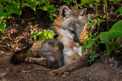 Grey Fox (Urocyon cinereoargenteus) Vixen Sniffs Flower with Kit Stock Photography
