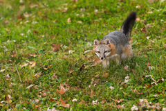 Grey Fox (Urocyon cinereoargenteus) Walks Forward Stock Photography