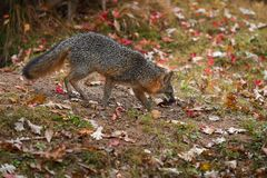 Grey Fox Urocyon cinereoargenteus Walks Right Licking Nose royalty free stock photography