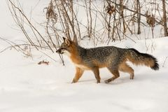 Grey Fox Urocyon cinereoargenteus Walks Through Snow Stock Image
