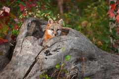 Grey Fox Urocyon cinereoargenteushuvud ut ur journal Arkivfoto