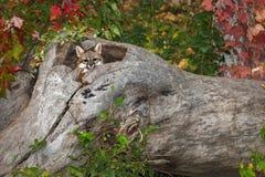 Grey Fox Urocyon cinereoargenteusjämliken ut loggar inifrån Royaltyfri Fotografi