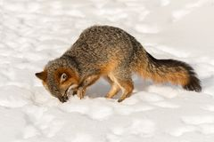 Grey Fox Urocyon cinereoargenteuspikar i snö Royaltyfri Bild