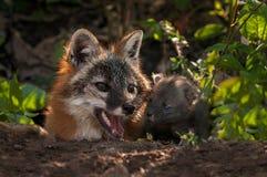 Grey Fox (Urocyoncinereoargenteus) argbigga och Kit Nose Together Royaltyfri Foto