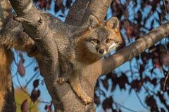 Grey Fox (Urocyoncinereoargenteus) i träd ser framåtriktat Royaltyfri Foto