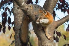 Grey Fox (Urocyoncinereoargenteus) krullade i träd Royaltyfri Bild