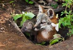 Grey Fox (Urocyoncinereoargenteus) och Kit Peer ut ur håla Royaltyfri Foto
