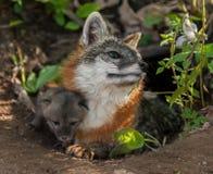 Grey Fox Vixen (cinereoargenteus d'Urocyon) avec Kit Under Her Leg Image stock
