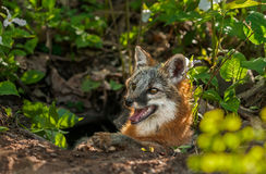 Grey Fox Vixen (cinereoargenteus del Urocyon) miente en la entrada del De Imagen de archivo libre de regalías