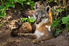 Grey Fox Vixen (cinereoargenteus del Urocyon) y flor en Densite Foto de archivo