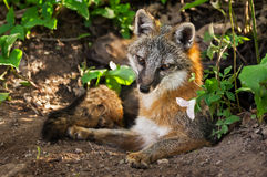 Grey Fox Vixen (cinereoargenteus do Urocyon) e flor em Densite Foto de Stock