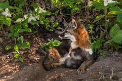 Grey Fox Vixen (cinereoargenteus do Urocyon) e Kit Snuggle no antro imagens de stock