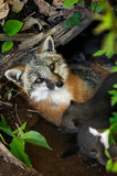 Grey Fox Vixen (cinereoargenteus do Urocyon) encontra-se no antro com seu K Imagem de Stock Royalty Free