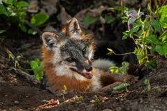 Grey Fox Vixen (cinereoargenteus do Urocyon) pendura para fora em Den Entra imagens de stock royalty free