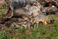 Grey Fox Vixen en de Uitrustingen (Urocyon-cinereoargenteus) Controle registreren uit Stock Foto's