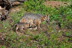 Grey Fox Vixen en het Voeden Uitrusting (Urocyon-cinereoargenteus) Stock Foto's