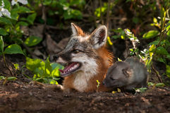Grey Fox Vixen et le kit (cinereoargenteus d'Urocyon) semblent gauches  Photo stock