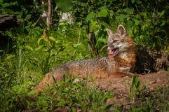 Grey Fox Vixen et x28 ; Cinereoargenteus& x29 d'Urocyon ; Mensonge vers le bas haut principal Image libre de droits