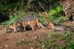 Grey Fox Vixen and Kits (Urocyon cinereoargenteus) Walk Along Stock Image