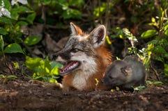 Grey Fox Vixen och satsen (Urocyoncinereoargenteus) ser lämnade ut Arkivfoto