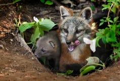 Grey Fox Vixen u. Ausrüstung (Urocyon cinereoargenteus) in der Höhle - Gegähne Stockfotografie