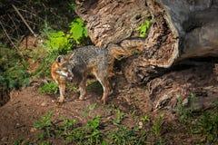 Grey Fox Vixen Urocyon-cinereoargenteus Drehungen mit Fleisch Stockfotos