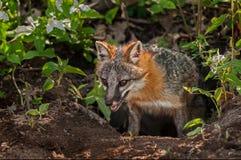 Grey Fox Vixen (Urocyon cinereoargenteus) Emerges from Den Royalty Free Stock Image