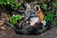 Grey Fox Vixen (Urocyon cinereoargenteus) Feeds Kits at Den Royalty Free Stock Photos